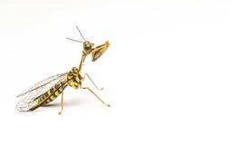 Mantidfly wizerunki obrazy stock