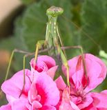 Mantis ένα λεπτό αρπακτικό έντομο στοκ φωτογραφίες