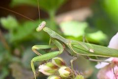 Mantis ένα λεπτό αρπακτικό έντομο στοκ φωτογραφία με δικαίωμα ελεύθερης χρήσης