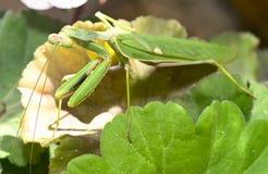 Mantis ένα λεπτό αρπακτικό έντομο στοκ φωτογραφία