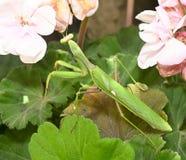 Mantis ένα λεπτό αρπακτικό έντομο στοκ εικόνα με δικαίωμα ελεύθερης χρήσης