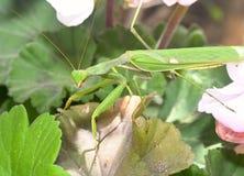 Mantis ένα λεπτό αρπακτικό έντομο στοκ φωτογραφίες με δικαίωμα ελεύθερης χρήσης