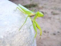 Mantis ή επίκληση Mantis, religiosa Mantis Έντομο στον κήπο Στοκ Εικόνες