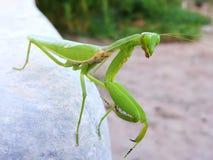 Mantis ή επίκληση Mantis, religiosa Mantis Έντομο στον κήπο Στοκ Εικόνα