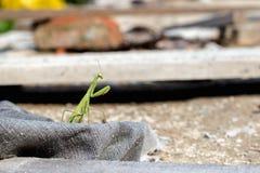 Mantis ή επίκληση Mantis, religiosa Mantis Στοκ Φωτογραφίες
