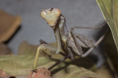 mantis ανασκόπησης που προσεύχονται το λευκό στοκ εικόνες με δικαίωμα ελεύθερης χρήσης