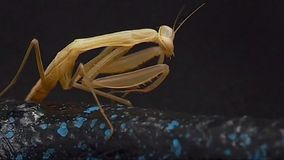 mantis ανασκόπησης που προσεύχονται το λευκό απόθεμα βίντεο