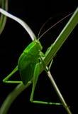 mantis ανασκόπησης που προσεύχονται το λευκό Στοκ εικόνα με δικαίωμα ελεύθερης χρήσης