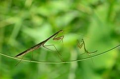 mantis ανασκόπησης που προσεύχονται το λευκό στοκ φωτογραφία με δικαίωμα ελεύθερης χρήσης