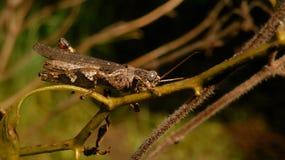 Mantis εγκεφάλου στοκ εικόνες