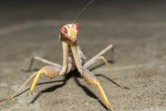 Mantis εντόμων τη νύχτα, άγριο υπόβαθρο φύσης κινηματογραφήσεων σε πρώτο πλάνο στοκ φωτογραφίες