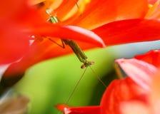 Mantis επίκλησης που κάθονται την άνω πλευρά - κάτω σε έναν κρίνο του Μπους Στοκ Εικόνες