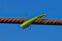 Mantis επίκλησης εντόμων Στοκ Εικόνες