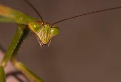 Mantis επίκλησης κοντά επάνω στοκ εικόνα με δικαίωμα ελεύθερης χρήσης