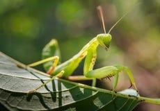 Mantis επίκλησης στο πράσινο φύλλο στοκ φωτογραφία με δικαίωμα ελεύθερης χρήσης