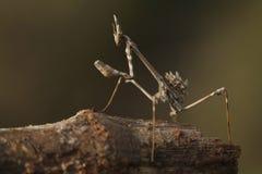 Mantis επίκλησης Στοκ εικόνες με δικαίωμα ελεύθερης χρήσης