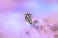 mantis, ζώα, μακροεντολή Στοκ Εικόνες