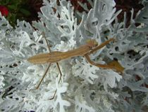 mantis κήπων που προσεύχονται &tau Στοκ Φωτογραφία