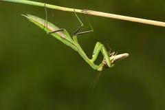 Mantis και ακρίδα Στοκ φωτογραφία με δικαίωμα ελεύθερης χρήσης