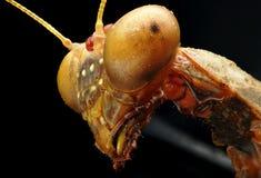 Mantis, μαύρο υπόβαθρο στη μακρο εικόνα στοκ εικόνες