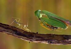 Mantis μωρών εναντίον των ενήλικων mantis Στοκ Εικόνες