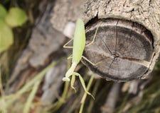 Mantis σε μια ακακία κούτσουρων Mantis που εξετάζει τη κάμερα Αρπακτικό ζώο εντόμων Mantis Στοκ Εικόνα