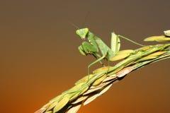 Mantis στο αυτί--ρύζι στοκ φωτογραφία