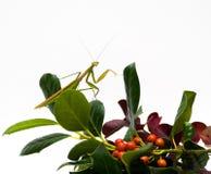 mantis φυλλώματος πτώσης Στοκ φωτογραφίες με δικαίωμα ελεύθερης χρήσης