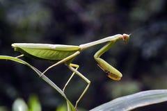 Mantis в положении звероловства на зеленых лист Стоковое фото RF