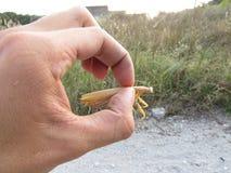 Mantis в руке Стоковая Фотография RF