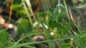 Mantis зеленого цвета насекомого сидит в траве акции видеоматериалы