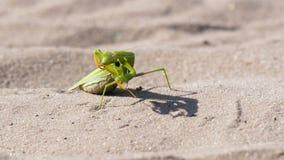 Mantis зеленого цвета насекомого сидит на песке и очищает свои лапки видеоматериал