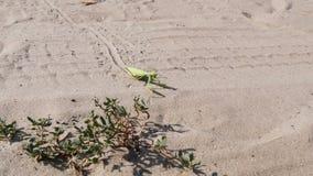 Mantis зеленого цвета насекомого сидит на песке и очищает свои лапки акции видеоматериалы