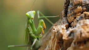 Mantis зеленого цвета насекомого сидит на стволе дерева видеоматериал