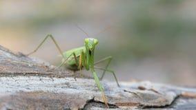 Mantis зеленого цвета насекомого сидит на стволе дерева акции видеоматериалы