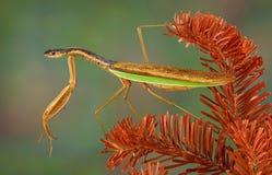 Mantis змейки Стоковые Фото