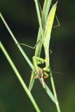 Mantis и саранча Стоковое фото RF