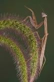 mantis лисохвоста Стоковое Изображение RF