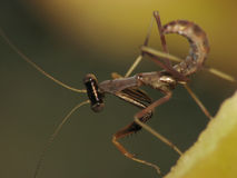 mantis макроса младенца супер Стоковые Фотографии RF