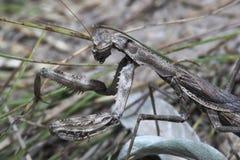 mantis макроса травы Стоковые Фотографии RF