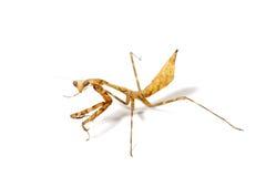mantis молит Стоковое фото RF