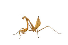 mantis молит Стоковые Изображения RF