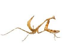 mantis молит стоковая фотография rf
