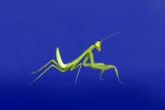 Mantis, моля Стоковые Изображения