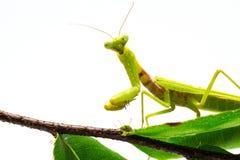 Mantis на зеленых лист на белой предпосылке Зеленый mantis на ветви дерева Стоковая Фотография
