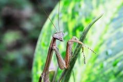 Mantis на зеленых лист Стоковые Изображения