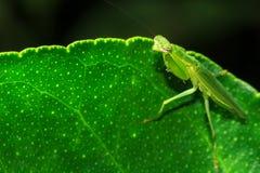 Mantis на листьях Стоковое Изображение RF