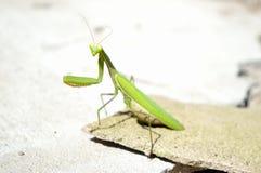 Mantis на камне Стоковая Фотография