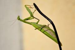 Mantis на наушнике Стоковое Фото