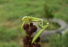 Mantis на схвате Сопрягая mantises Хищник насекомого Mantis Стоковые Фотографии RF